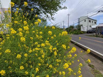 道端に咲いていた黄色い花